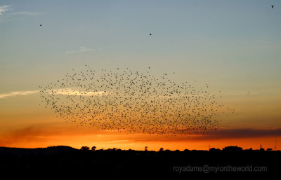 Not Quite A Murmuration (but almost)